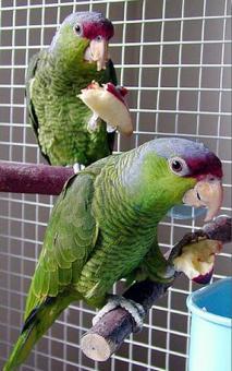Amazon Parrots Species for Sale