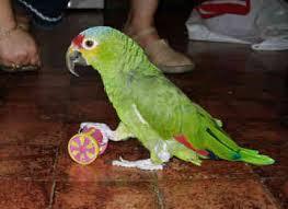 Hand Breed Pet Amazon Parrots on Sale