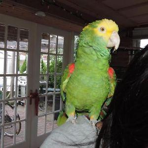 Hand Reared Double Yellow Headed Amazons on Sale