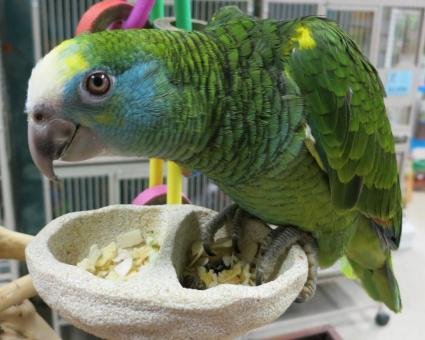 Trained and Tamed Amazon Parrots ready for Delivery We have parrots of all ages. We have young babie