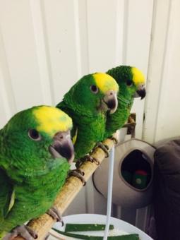 Yellow Nape Amazon Chicks for sale.